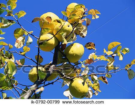banque de photographies coings s 39 accrocher arbre ik 0792 00799 recherchez des photos des. Black Bedroom Furniture Sets. Home Design Ideas