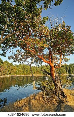 Stock Image - arbutus or madrone arbutus menziesii trees Tent Island Gulf Islands & Stock Images of arbutus or madrone arbutus menziesii trees Tent ...