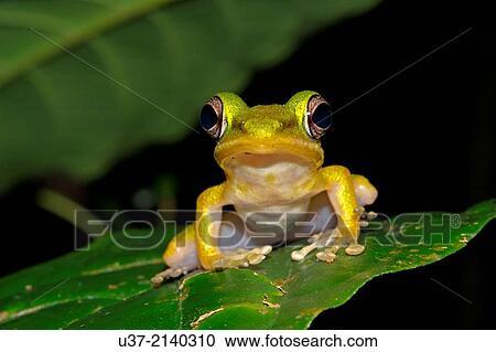 青蛙��h�_免版税(rf)类图片 - white-lipped, 青蛙, hydarana, raniceps.