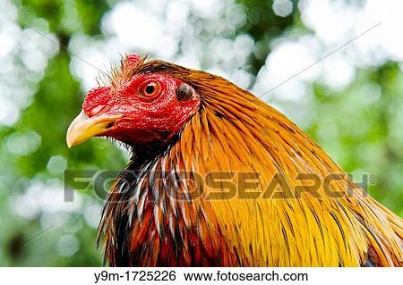 breeding cock fighting
