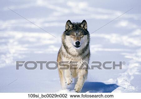 Banque de Photo - loup, marche, dans, neige, hiver 109si