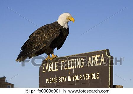 bald eagle auf deutsch