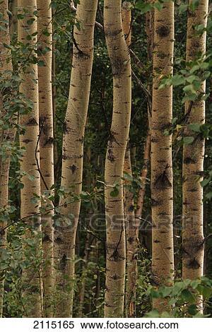 Stock image of birch tree trunks forest fairbanks interior - Interior women s health fairbanks ak ...