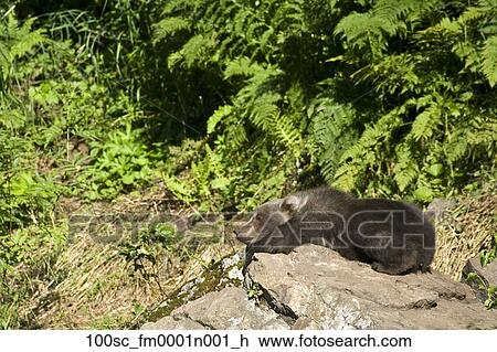 Archivio fotografico orso marrone cucciolo rimanendo for Affitti cabina grande lago orso
