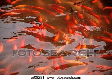 Stock photography of koi fish in pond ai08281 search for Pond fish stocking calculator