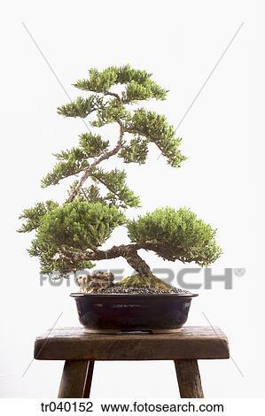 stock foto bonsai baum tr040152 suche stockfotografie fotodrucke fotos bilder und foto. Black Bedroom Furniture Sets. Home Design Ideas