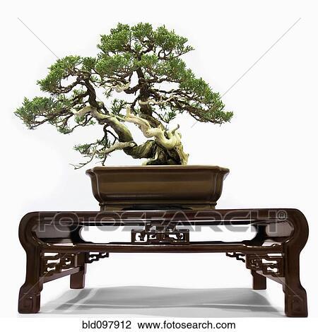 stock foto bonsai baum auf tisch bld097912 suche stockfotografie fotodrucke fotos. Black Bedroom Furniture Sets. Home Design Ideas