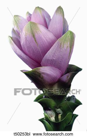 Banque de photo curcuma plante curcuma longa for Plante interieur curcuma