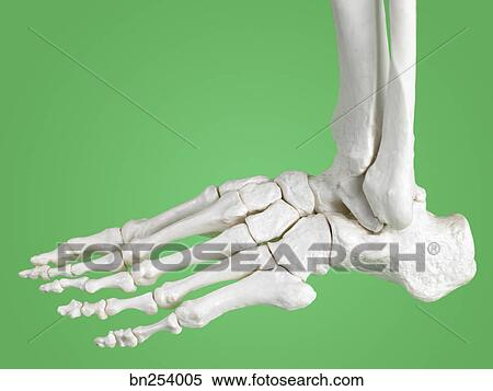 Stock Image Of Close Up Of Skeleton Foot Bn254005 Search Stock