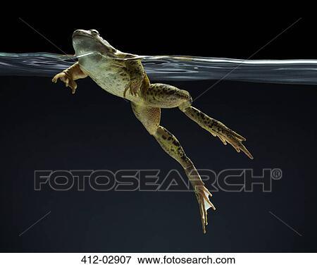 图片- 青蛙, 游泳水下图片