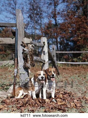 Stock Photography Of 1950s 1960s 2 English Beagle Hunting