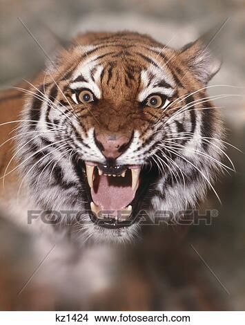 Stock Photo of face and fangs of growling roaring tiger ...