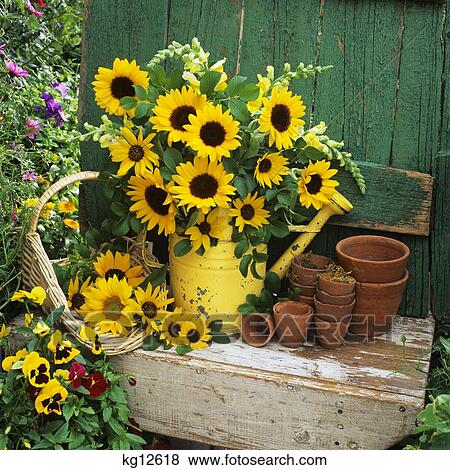 Pictures Of Sunflowers In Watering Can Old Flower Pots And