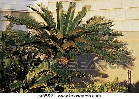 Archivio fotografico palma pianta pr85521 cerca for Pianta palma