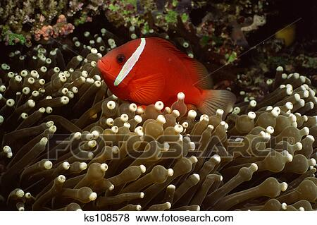 Tomato clownfish anemone - photo#26