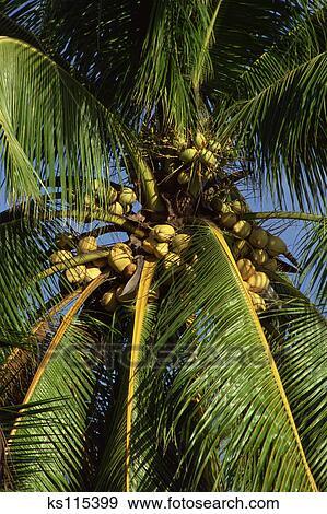 Banque de photographies antilles palmier et noix coco - Palmier noix de coco ...