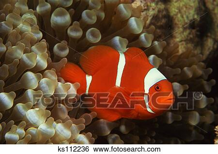 Maroon Clownfish | Stock Images Of Maroon Clownfish Premnas Biaculeatus Safe Among
