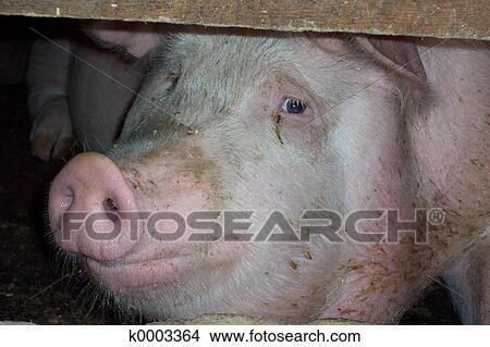 写真館、イメージ館 - 豚, 顔, 外形図. F... 写真館、イメージ館 - 豚, 顔, 外形
