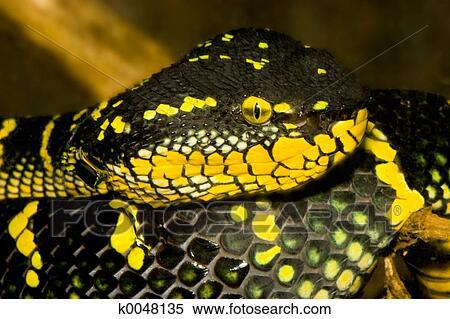 Archivio immagini closeup di uno serpente k0048135 for Serpente nero italiano