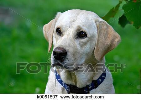 肖像, 在中, 流口水, labrador, retriver, 等待, 为, a, treat.图片