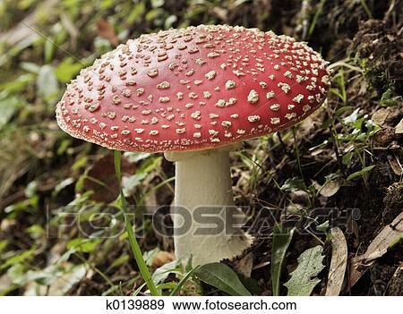 banque de photographies champignon agaric mouche k0139889 recherchez des photos des images. Black Bedroom Furniture Sets. Home Design Ideas