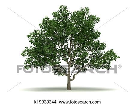 Disegni singolo albero magnolia k19933344 cerca for Magnolia pianta prezzi