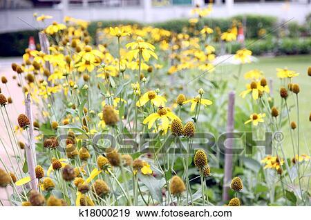 Banque de photographies mexicain tournesol mauvaise herbe dans les backyard k18000219 - Mauvaise herbe fleur jaune ...