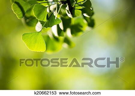 银杏biloba, 树枝, 带, 叶子