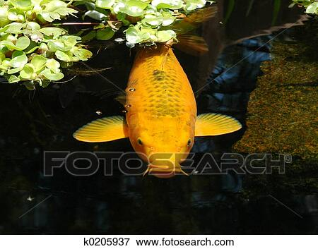 Picture Of Pond Fish K0205937 Search Stock Photography