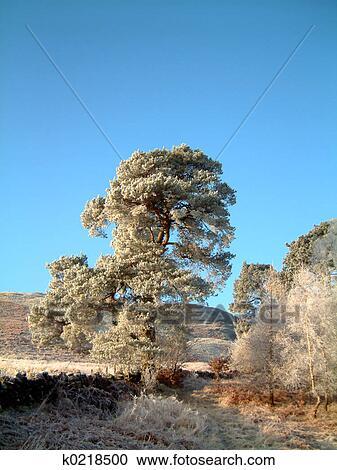 免版税(RF)类图片 - 结霜, 苏格兰英语, 松树 k0