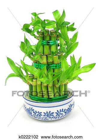 Archivio fotografico fortunato bamb k0222102 cerca - Bambu in vaso acqua ...
