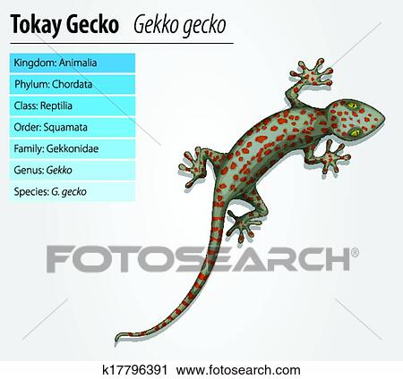 clipart of tokay gecko - gekko gecko k17796391 - search clip art