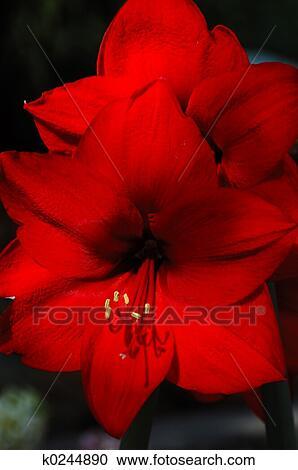 Banques de photographies joyeux no l amaryllis k0244890 for Amaryllis de noel