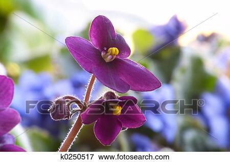 Image violette africaine k0250517 recherchez des for Violette africane