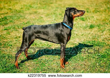 Stock Image - Black Doberman Dog On Green Grass Background. Fotosearch - Search Stock Photos