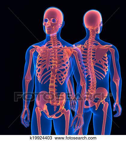 dessin squelette humain fin haut devant et dos vue contient attachant voie acc s. Black Bedroom Furniture Sets. Home Design Ideas