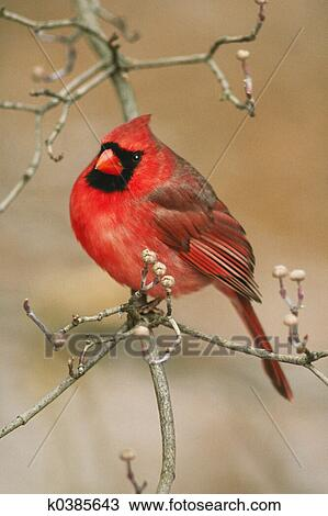 Stock Photo of Northern Cardinal k0385643 - Search Stock ...