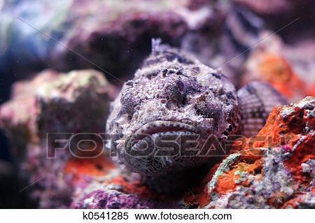 banque d 39 image poisson scorpion k0541285 recherchez des photos des images des. Black Bedroom Furniture Sets. Home Design Ideas