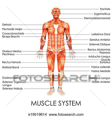 Clipart Of Muscular System K19519614 Search Clip Art Illustration