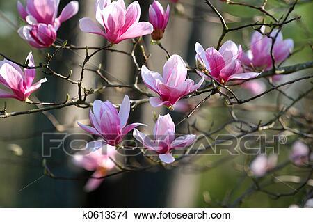 Archivio fotografico giapponese magnolia k0613374 for Magnolia pianta prezzi