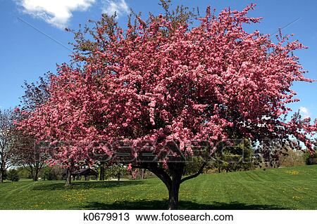 Stock photo of crabapple tree k0679913 search stock images poster beautiful pink blossoms on a crab apple tree malus mightylinksfo