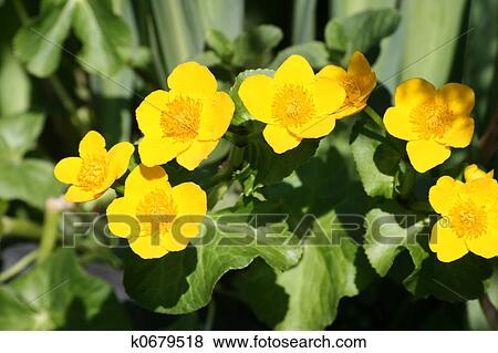 Pictures of marsh marigold k0679518 - Search Stock Photos ...
