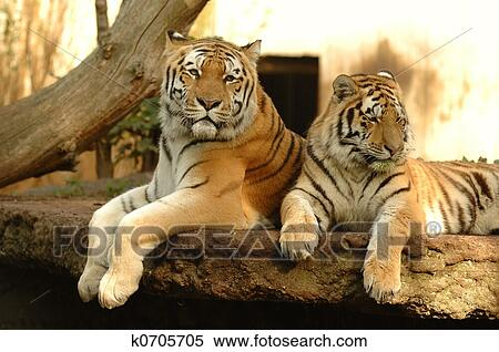 Banque d 39 image tigres k0705705 recherchez des photos - Images tigres gratuites ...