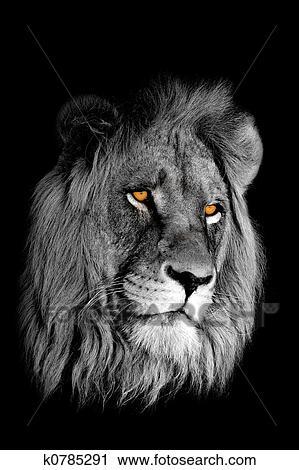 banques de photographies lion africain portrait k0785291 recherchez des images des photos. Black Bedroom Furniture Sets. Home Design Ideas