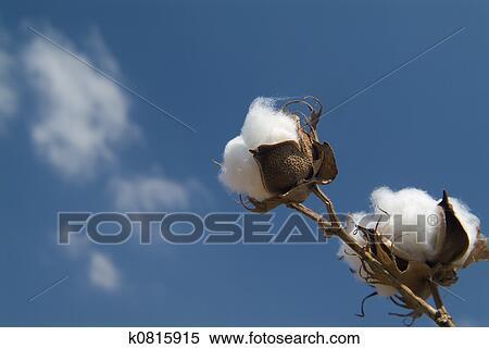 Banque d 39 image coton branche k0815915 recherchez des - Branche de coton ...