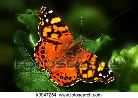 Stock Photo of Painted Lady Butterfly k0947254 - Search ...