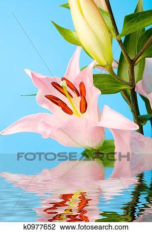 图吧- 粉红百合花, 在中, 水