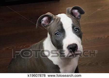 Immagini - bianco, e, grigio, pitbull, seduta, su, marrone, pavimento k19607878 - Cerca Archivi ...