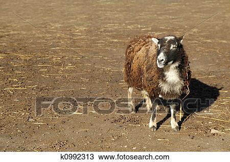 Sheep Singular k0992313 jpg