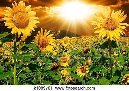 剪贴画 向日葵